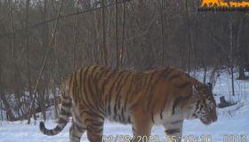 吉林東北虎豹影像曝光 東北虎還有多少只在中國