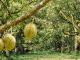 和南中国,把榴莲的美味健康带给中国消费者