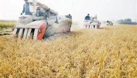天津北辰区大张庄镇8000亩稻田迎收割